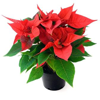 Christmas Poinsettia Dedications